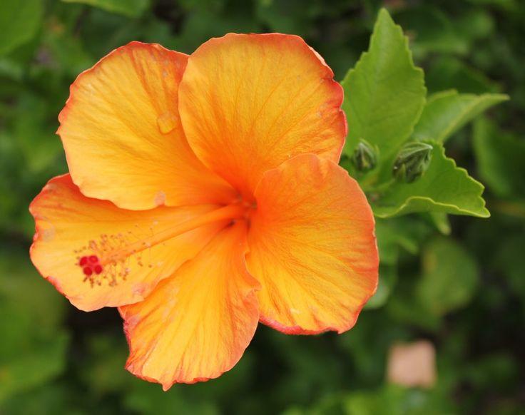 Orange hibiscus  Maui   flowersOrange Hibiscus Flowers