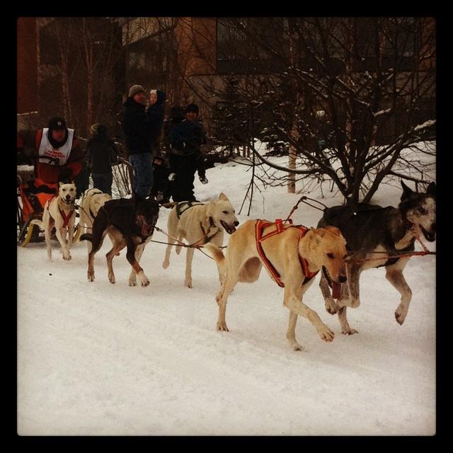 Dog sled team | Dog Sledding | Pinterest