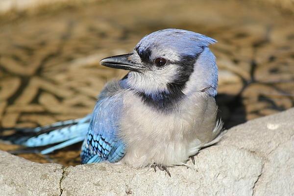 Baby Blue Jay Bird Baby blue jay | Birds,...