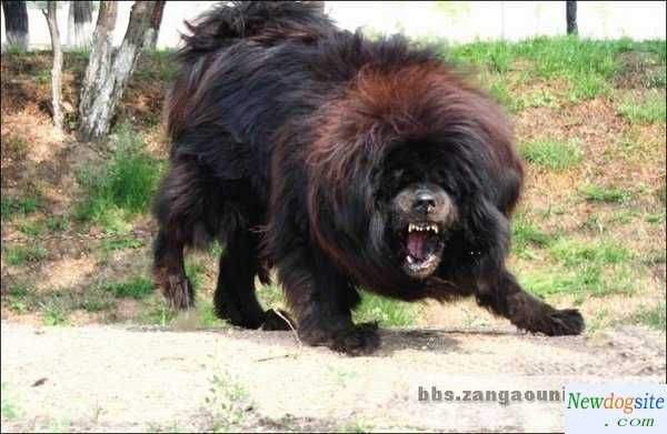 Tibetan Mastiff | The THUNDER of large............ | Pinterest