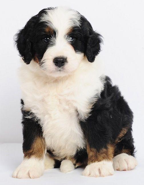 Bernese mountain dog saint bernard mix puppies