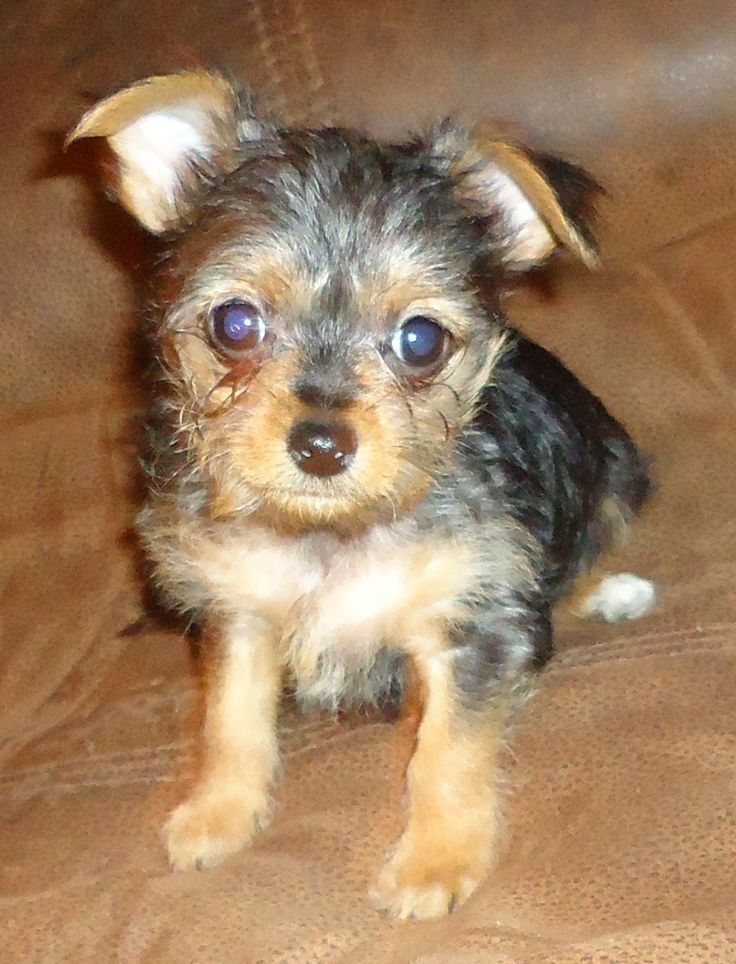 chorkie puppies related keywords chorkie puppies long