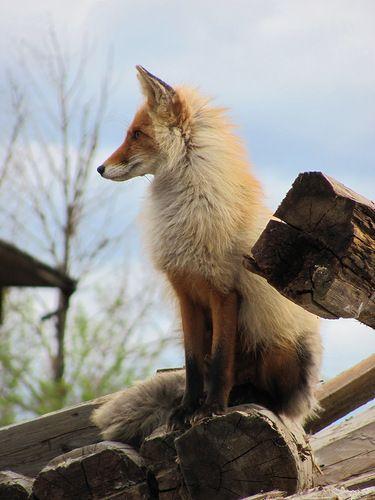 Bagdatiev Alexander - «Fox» sur Yandex