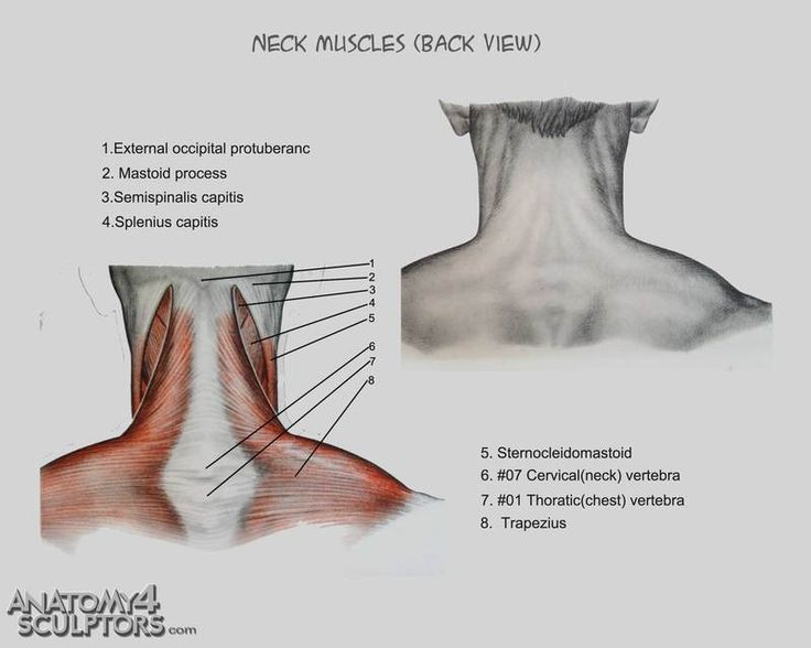 Back neck muscles anatomy