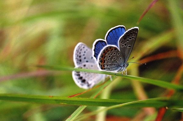 Karner Butterfly and female | Butterfly Wishes | Pinterest