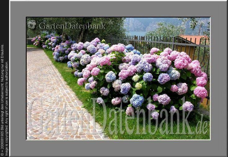 bauernhortensie winterhart traumgarten pinterest