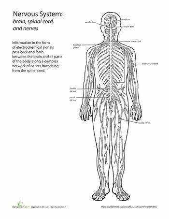 Human anatomy worksheets high school