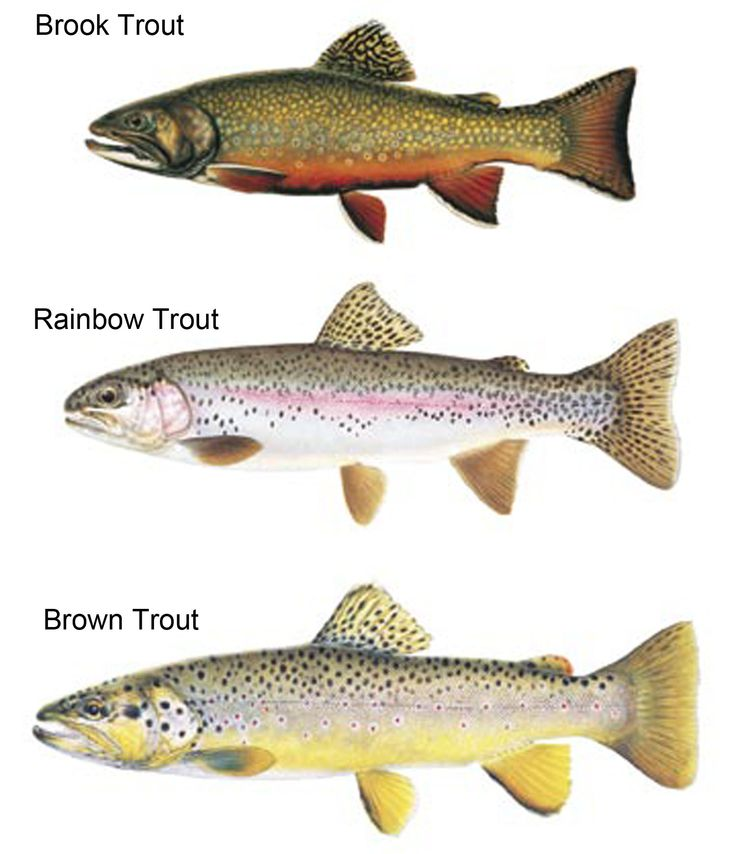 Types of trout lake fishing decor ideas pinterest for How to fish for trout in a lake