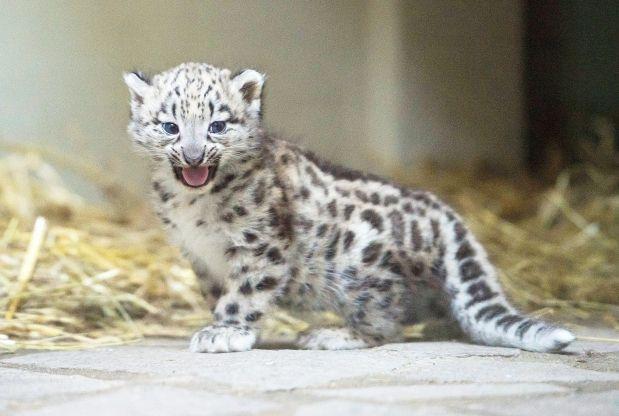 Baby white leopard - photo#2