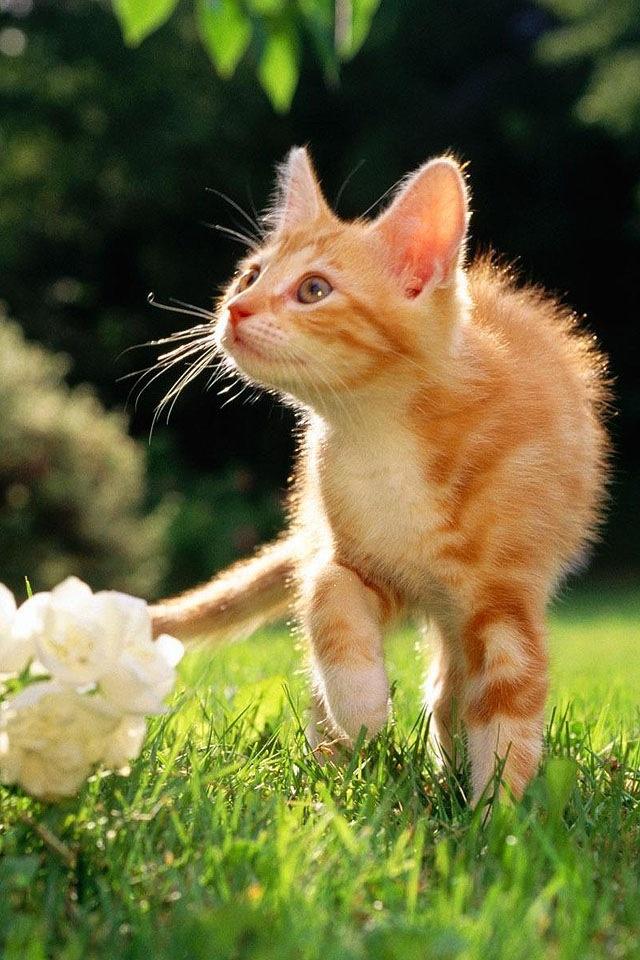 Orange and white kitten   KITTIES   Pinterest