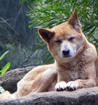Dog breeds that look like dingos 11