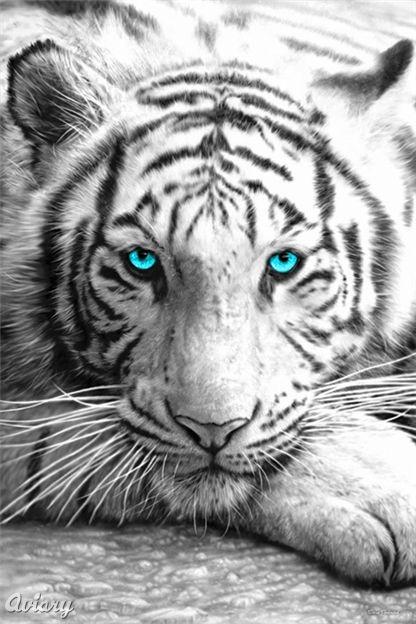 maltese tiger - Google Search
