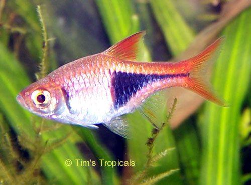 Google Image Result for http://tropicalfishandaquariums.com/Carp ...