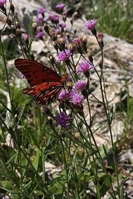 Ironweed (vernonia angustifolia) #Florida #NativePlants #flower #gardening