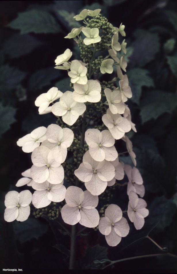 Oakleaf Hydrangea  Hydrangea quercifolia  Alice  Oakleaf Hydrangea Alice