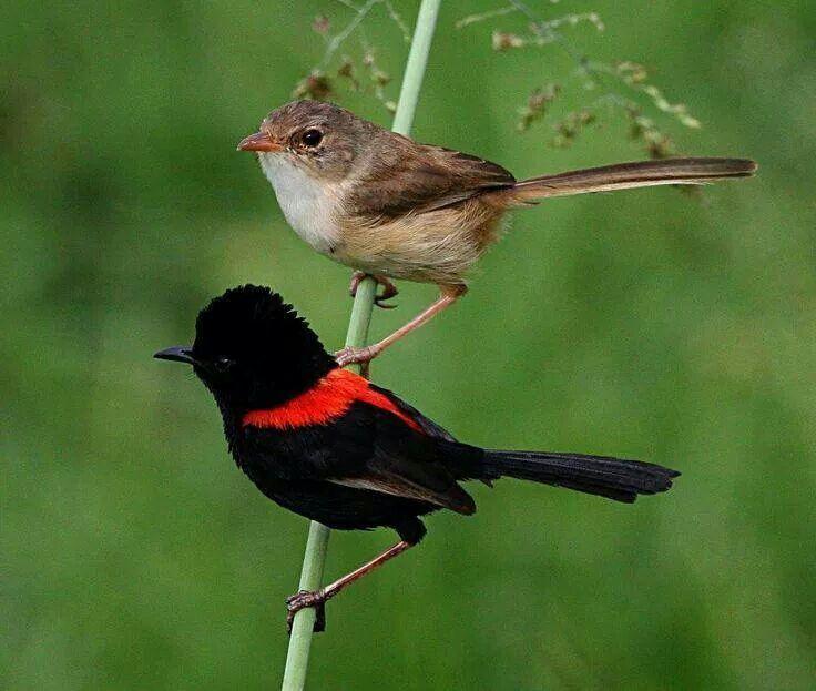 Red backed fairywren fotos de aves birds pinterest