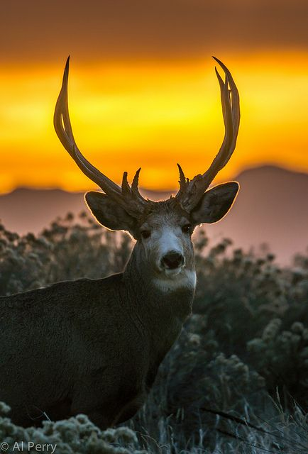 Mule deer cover by Al Perry Photography on Flickr