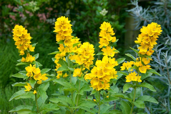 Yellow loosestrife wish list for my future garden for Garden trees with yellow flowers