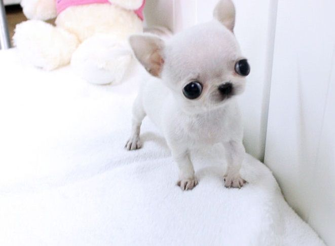 White Applehead Chihuahua Puppies - Bing images
