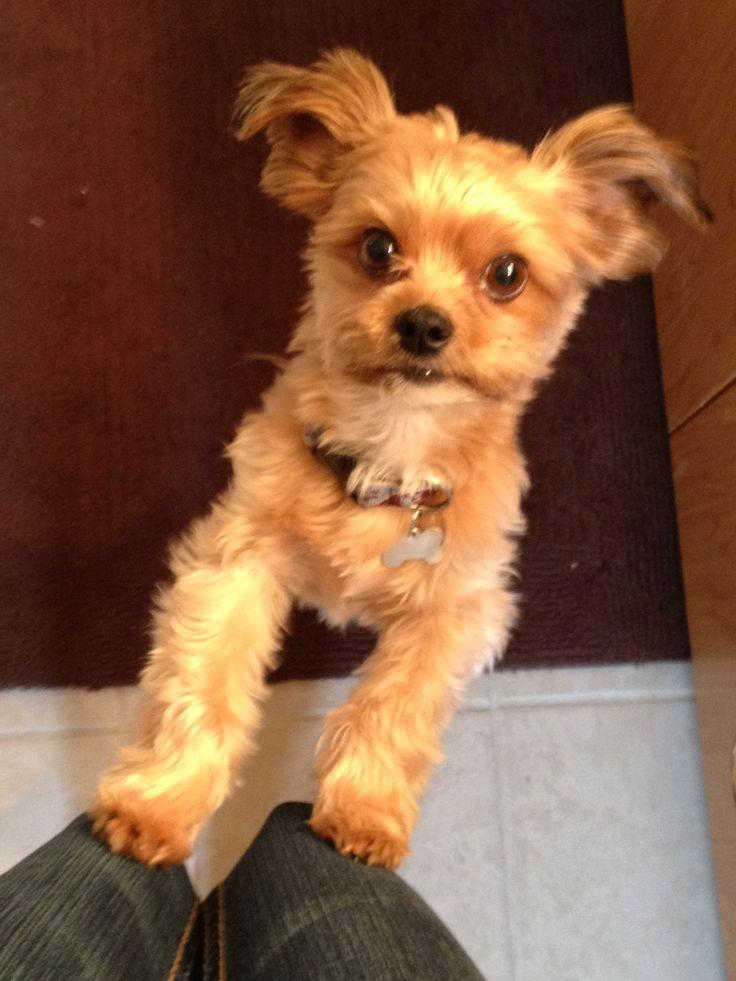 Shorkie. Shih Tzu and Yorkie mix   Cutest Animals Eva!   Pinterest