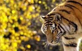 tiger   & yellow glow