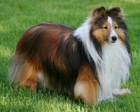 I miss my sheltie dog.