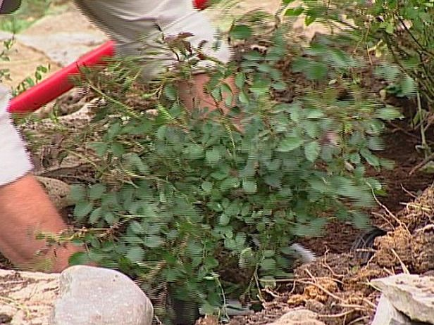 17 low maintenance plants and dwarf shrubs for Low maintenance bushes and shrubs