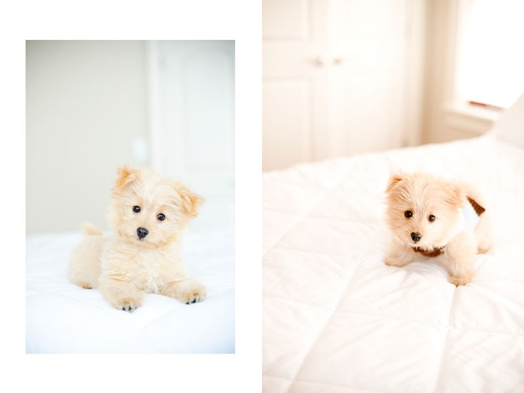 pomapoo | Cute Fuzzies | Pinterest