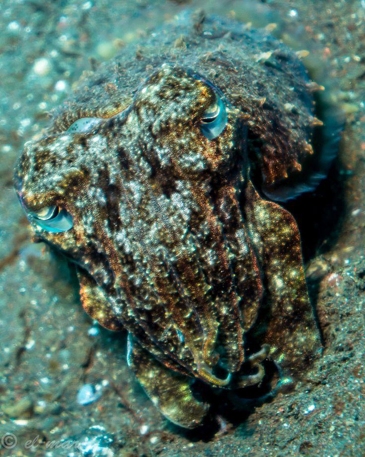 #camouflage #octopus | Look Carefully | Pinterest