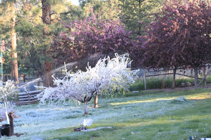 Protecting fruit trees from a late frost for the garden pinterest - Protecting fruit trees in winter ...