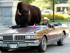 Is this for real? Nothing like taking your pet bison for a little drive.