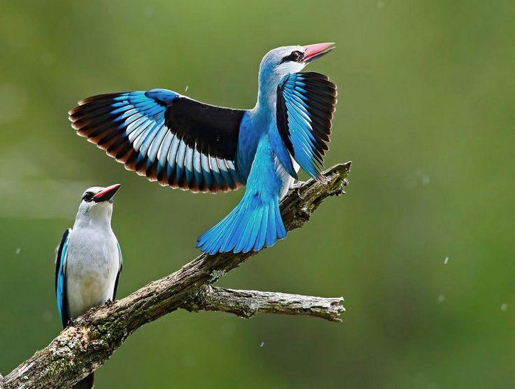 Woodland Kingfisher Woodland Kingfisher   ...