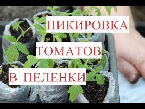 Посадка рассады помидор в пеленку 39