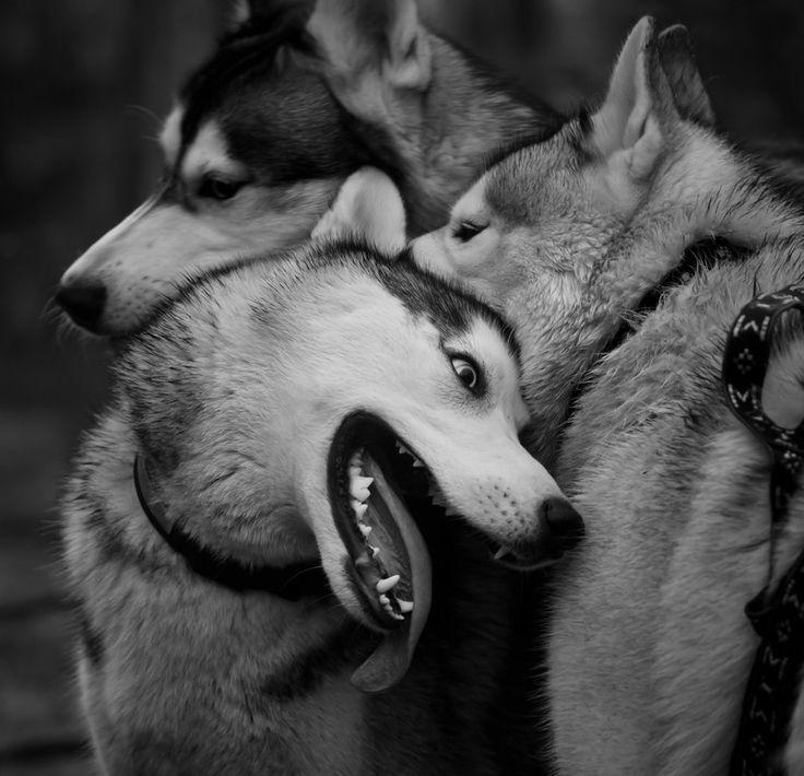 tenderness huskies by Kostantin Tronin