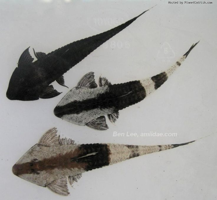 Whiptail Catfish : Pseudohemiodon apithanos (Chameleon Whiptail) - ~7