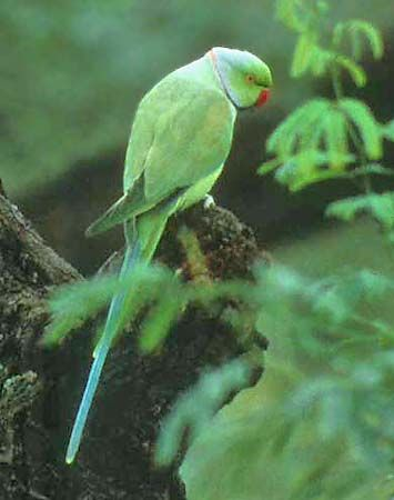 African Ringneck | Parrots and other Tropical Birds ...