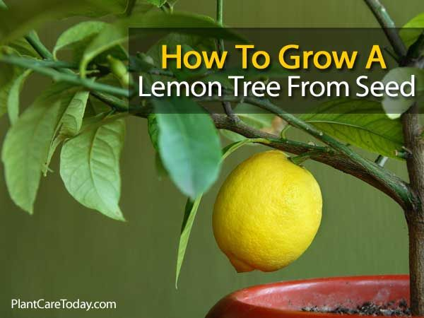 How to grow a lemon tree from seed gardening pinterest for Growing a lemon tree in a pot from seed