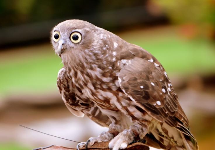 Rufous owl - photo#2
