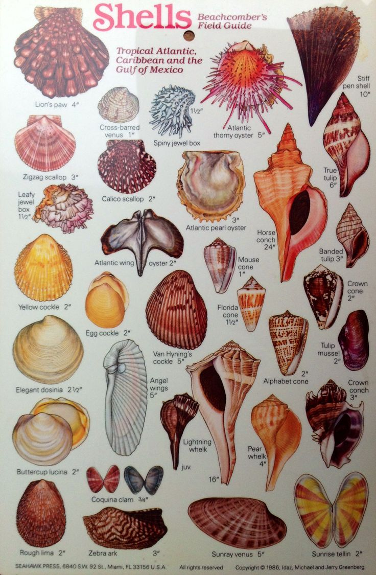 M - Sea Shells Common names of shells with pictures