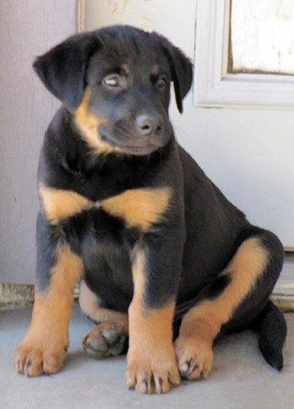 Black lab rottweiler puppies