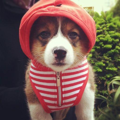awww, what a cute corgi puppy :)