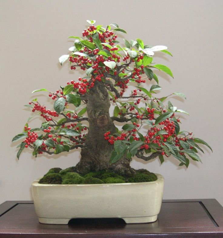 japanese holly ilex serrata bonsai pinterest