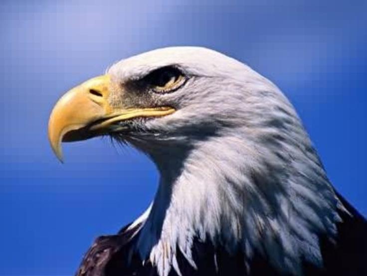 Bald eagle birds and ducks pinterest