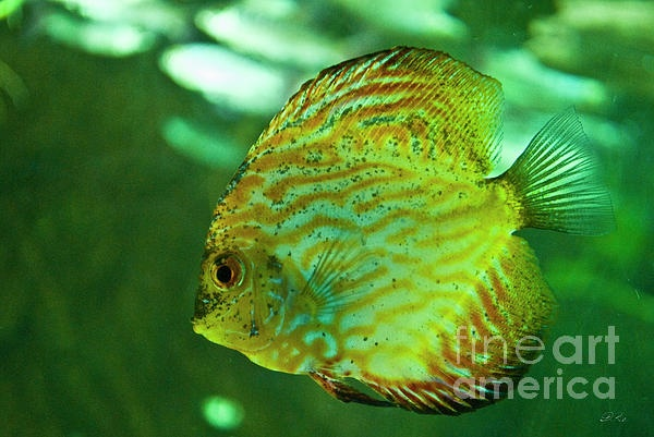 Discus Fish The Gracious of GREEN Pinterest