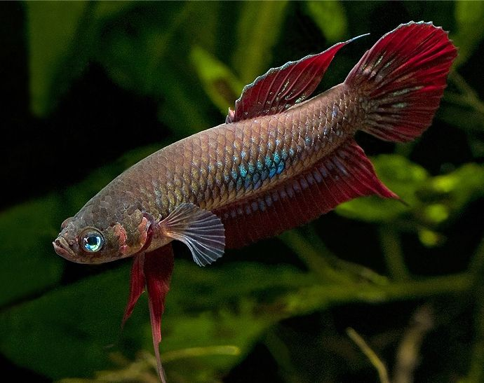 female betta fish betta fish pinterest