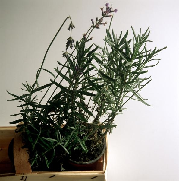 How to grow lavandula dentata indoors - Growing lavender pot ...