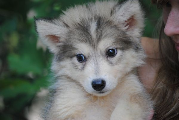 White Alaskan Husky Tattoo