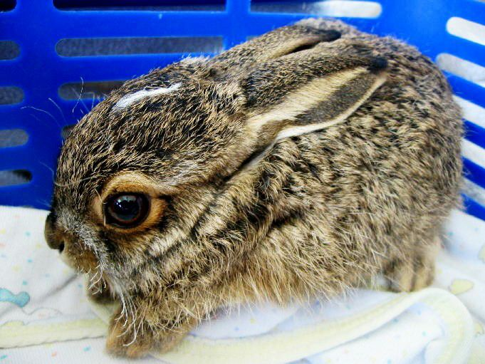 Gallery images and information: Newborn Jack Rabbits