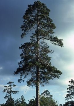 Pin pinus resinosa red pine bark of older tree on pinterest for Mature pine trees