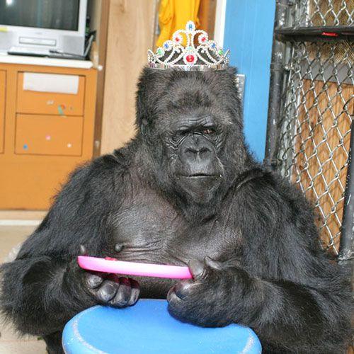 koko the gorilla - photo #6